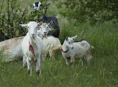 kambing di padang rumput
