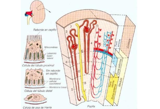 Anata wa jōdanda :D: Anatomia y fisiologia renal