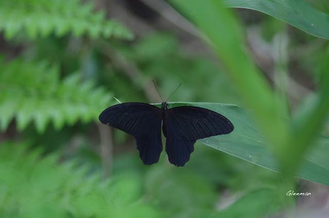雞南山散步,黑鳳蝶