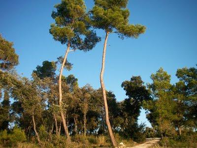 Hotel Istra Rovinj 4* на острове Св. Андрея окружают сосновые деревья | Pines trees surround Hotel Istra Rovinj 4* on Crveni otok