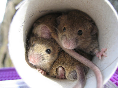 To get rid of mice or rats