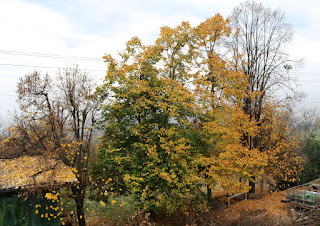 Linden trees in various autumnal stages