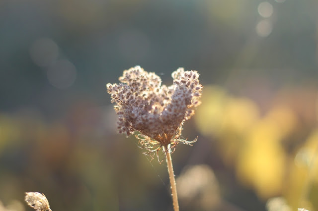I heart Queen Anne's Lace