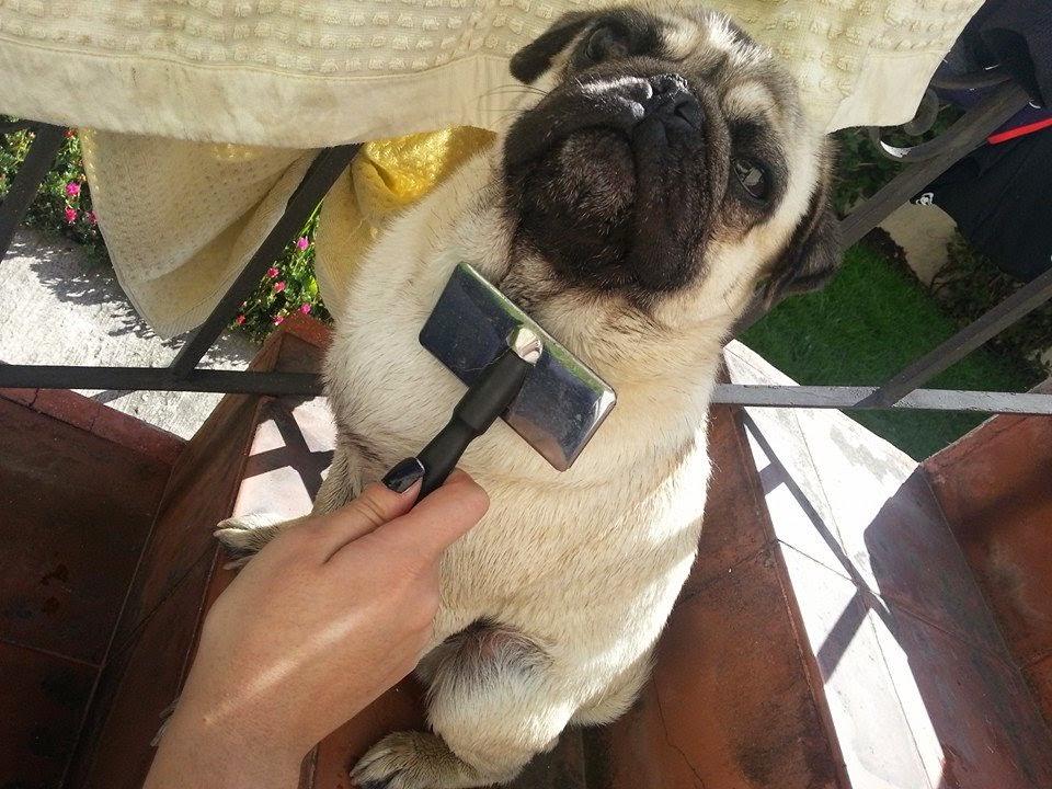 Pug carlino ecuador cuidados del pelaje en el pug - Como quitar los pelos de perro de la ropa ...