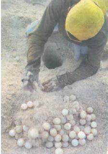 Salah satu mata pencaharian yang ada di daerah pantai yaitu beternak telur penyu.