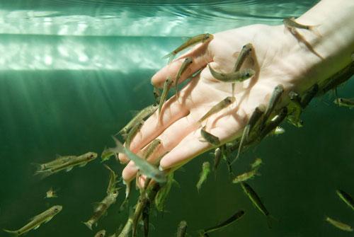 jual ikan terapi garrarufa