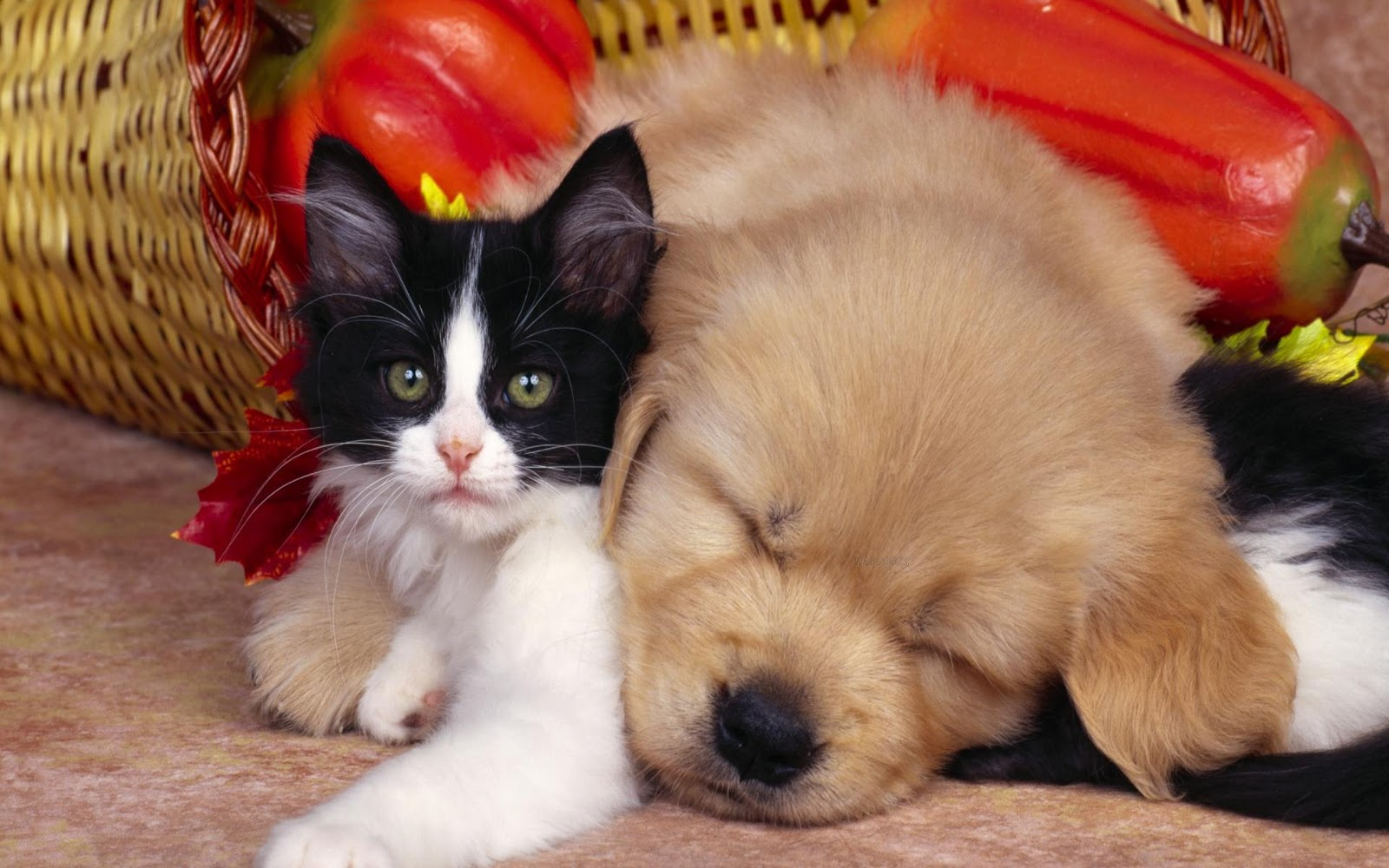 Cute Kittens And Puppies Animals 2016