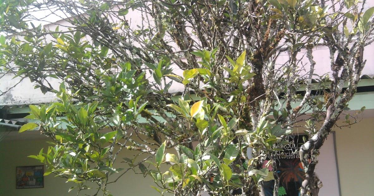 Botanica macare arboles frutales for Lista de arboles frutales de hoja perenne