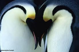 Pinguim coração.