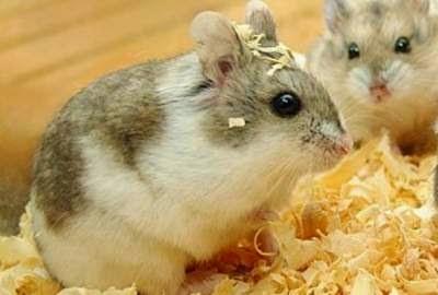 jenis-jenis-hamster