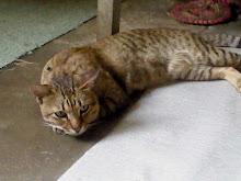"""Kucing Abah Aku Jugak.. """"Atan"""""""