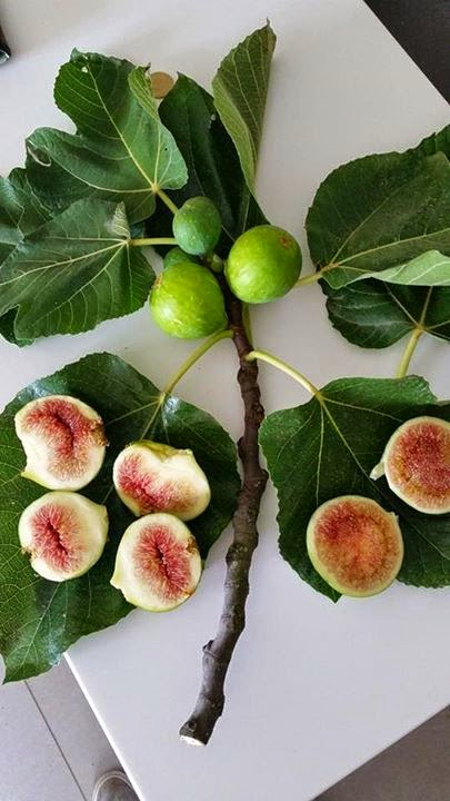 Fico Brogiotto Bianco Green Fig