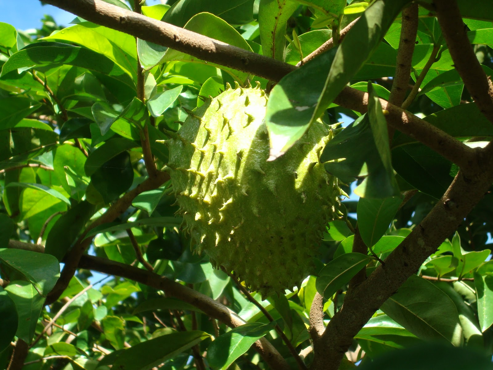 Healing Herbs of the Caribbean: The Soursop Tree (Graviola)