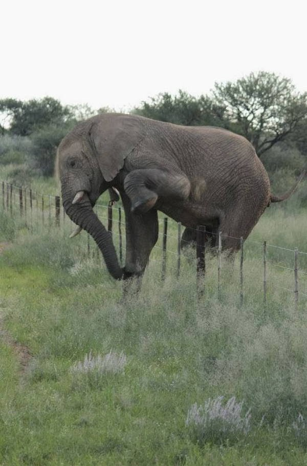 Funny animals of the week - 7 March 2014 (40 pics), elephant stepping over fences without damaging it