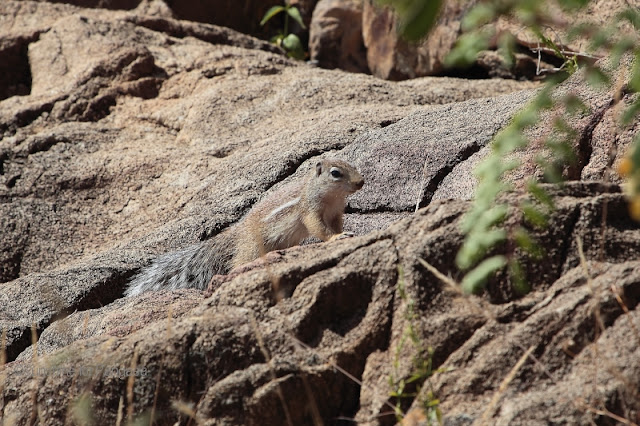 striped ground squirrel (Xerus erythropus)