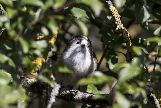 Long-tailed tit in all its cuteness
