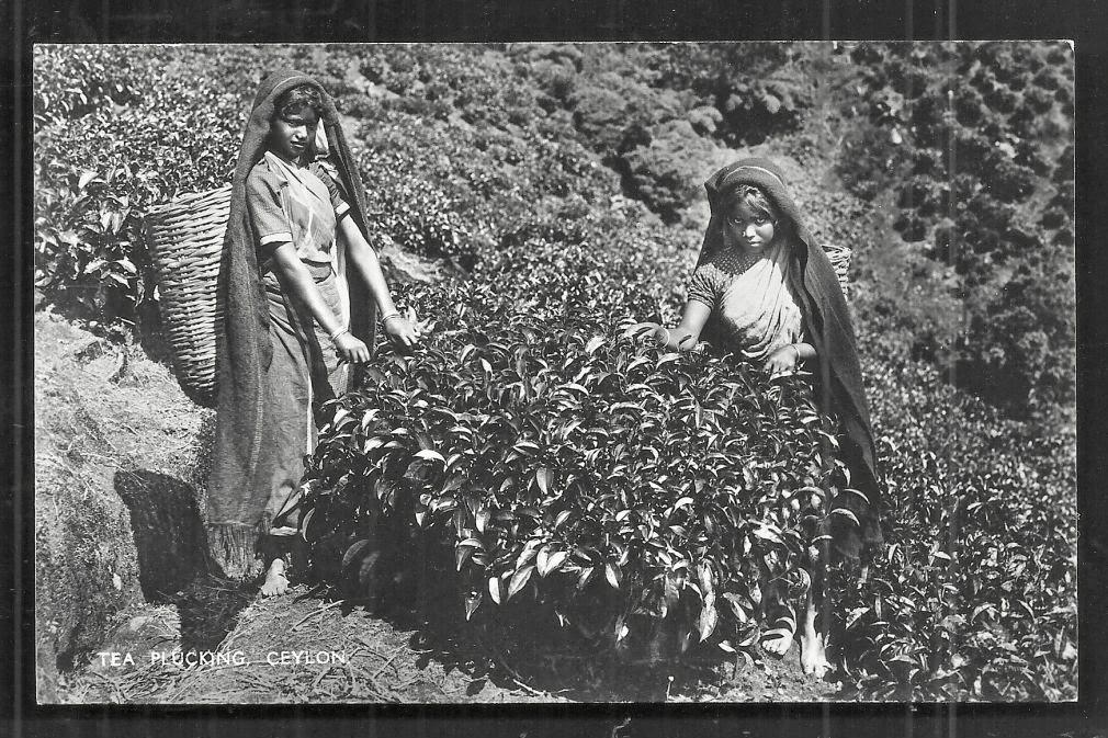 Tea Pluckers - Ceylon (Sri Lanka) c1930's