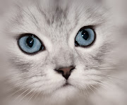 Live Life Like a Kitten. . . Clearly. Use the power of your subconscious . clearly cat face silver chinchilla persian