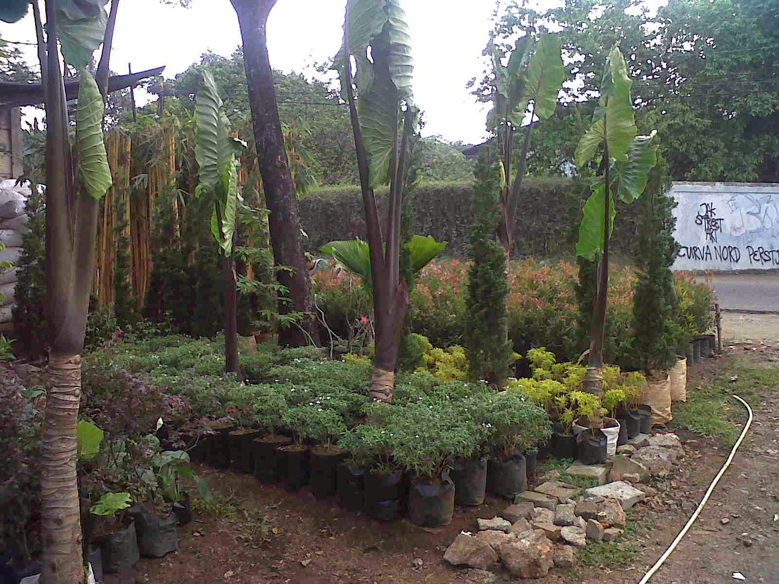 pohon keladi hitam