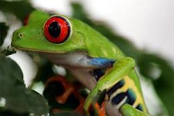 Anfibios en perigo de extinción!!!