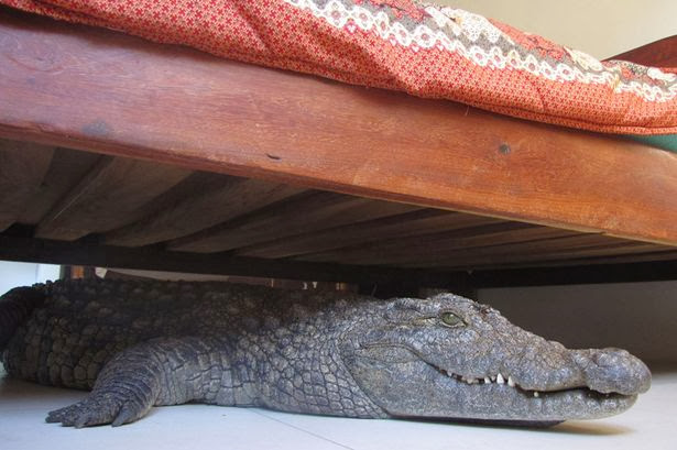Crocodile-under-man-bed,Dangerous Crocodile attack pics,horrible crocodile attack images,Dangerous animals attack on human photos
