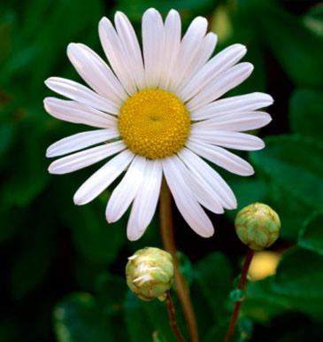 Regala flores al forer@ de arriba                 - Página 2 Margarita