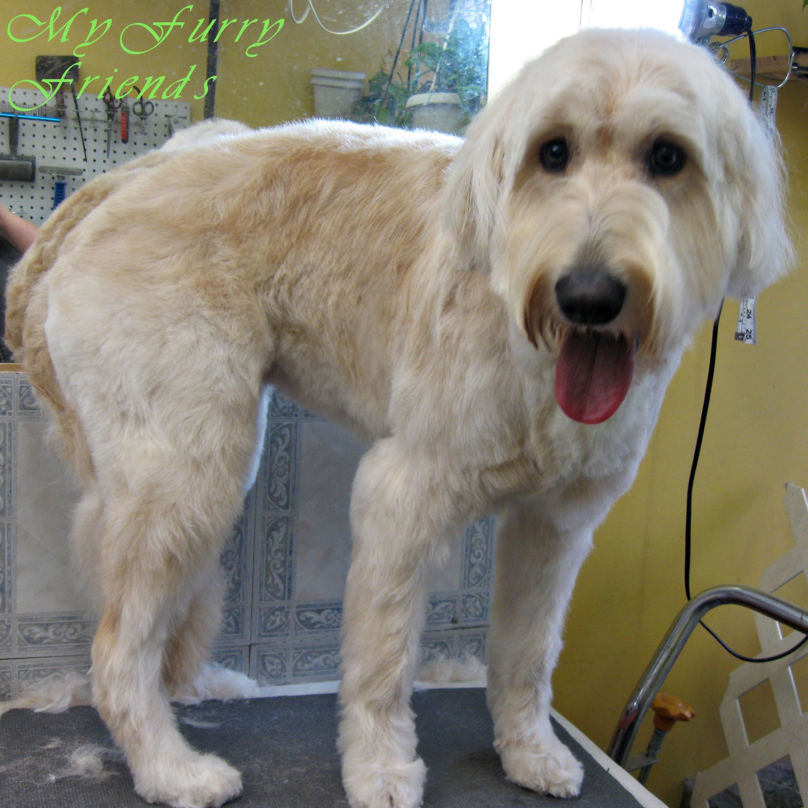 Haircuts For Goldendoodles Pictures: Pet Grooming: The Good, The Bad, & The Furry: Another