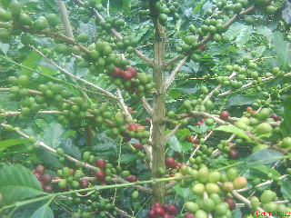 manfaat kopi luwak minuman rendah kalori yg baik aman bagi kesehatan