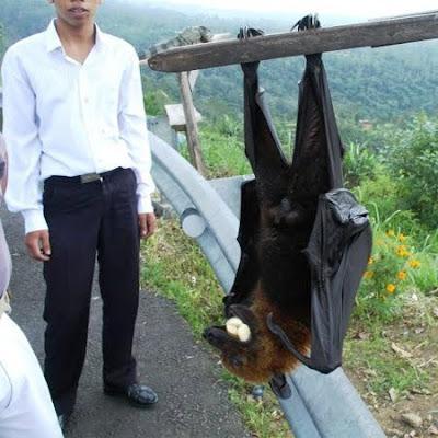 El murciélago más grande del Mundo (Zorro volador filipino).Acerodon jubatus Golden_crowned_fruit_bat