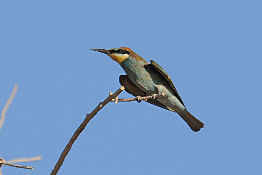 European bee eater size - photo#19