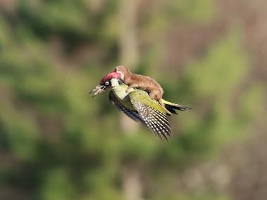 獲物のキツツキが飛び立ち, 降りられないイタチの子供