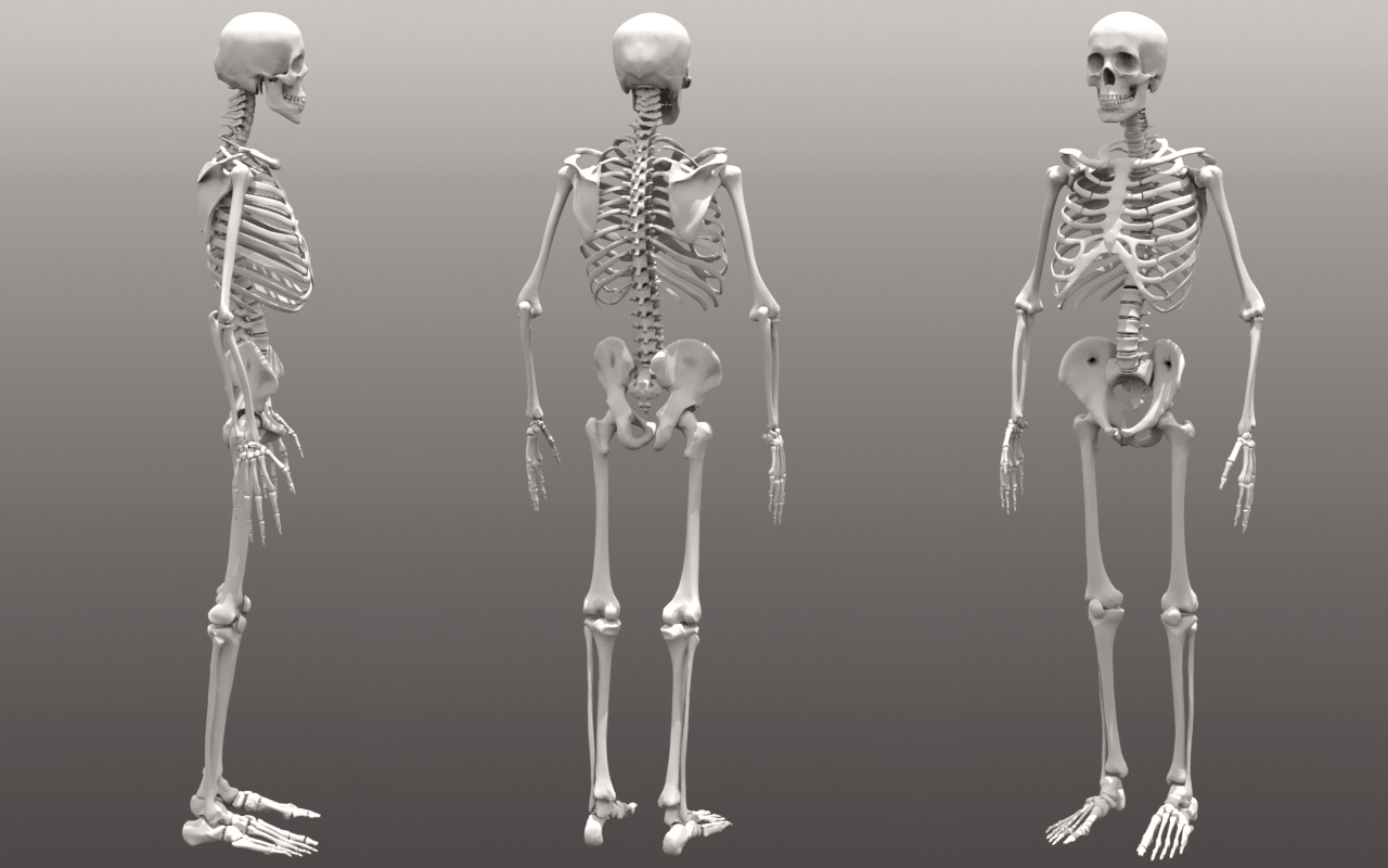 DashDotSlash: Human Skeleton Anatomy Reference and Model
