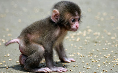 Nice baby monkey wallpapers free