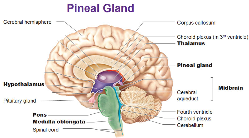 Revelation Archives The Third Eye Pineal And Pituitary Glands