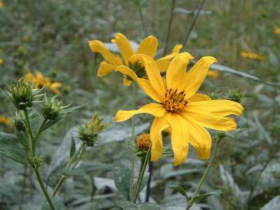 [Photo: Helianthus divaricatus.]