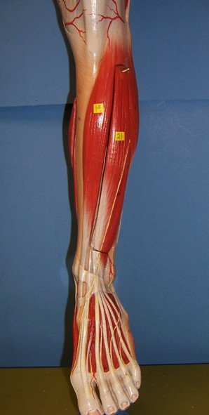 Beverly Hills Chiropractic Shin Muscle Stretch For Tibialis