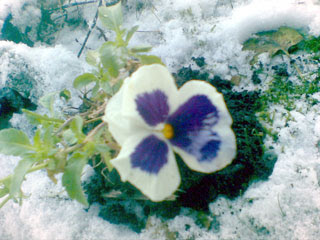 Blommande pensé i december