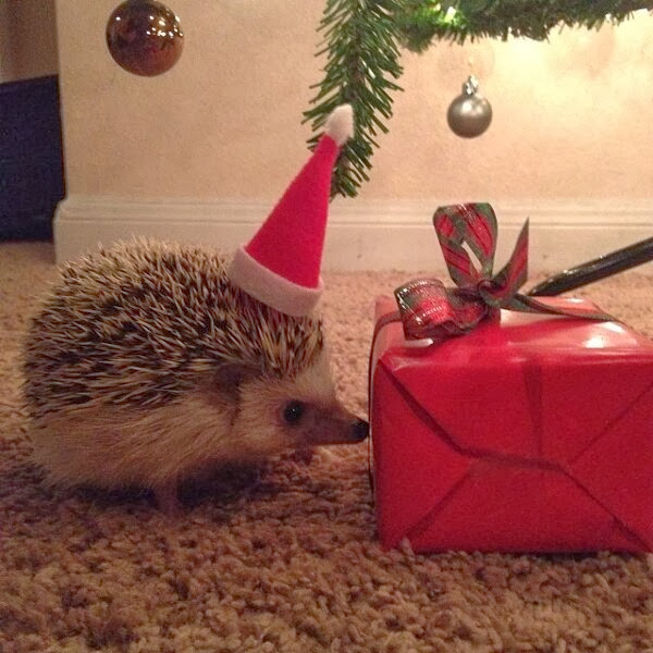 Funny animals of the week - 20 December 2013 (40 pics), hedgehog and a christmas present