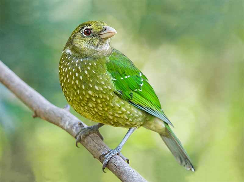 Green Catbird call