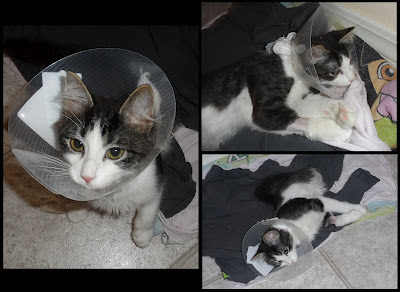 Anakin wearing the cone of shame after his rectal prolapse surgery