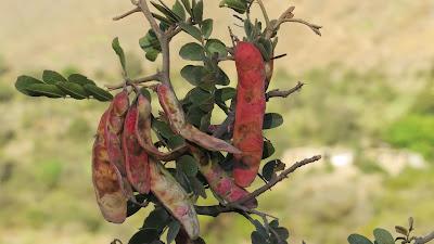 Tara - Caesalpinia spinosa