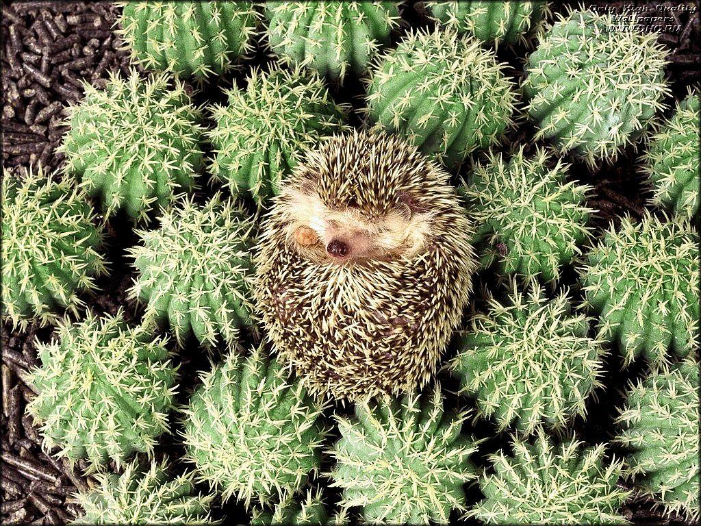 Spy Animals: Hedgehogs as pets?