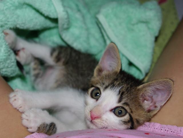 pisoi motan kitten cat pisica