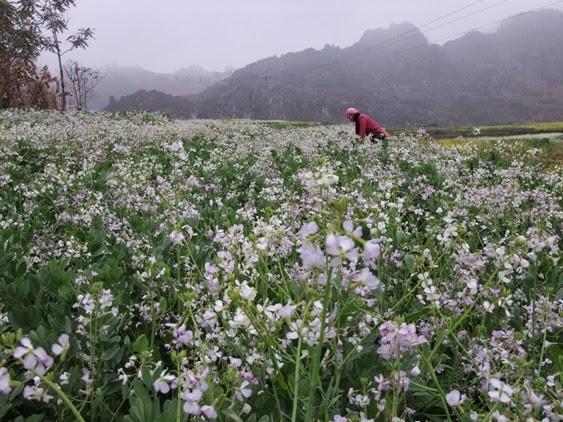 hoa cai trang Ha Giang