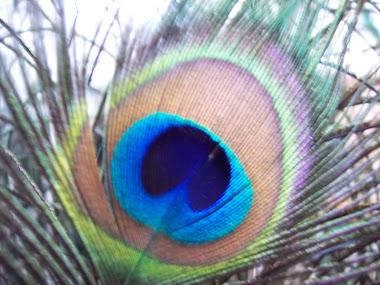 El ojo de la pluma del Pavo Real