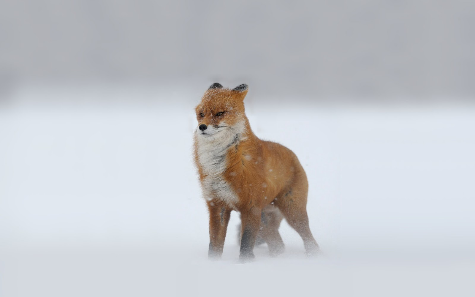 funny wallpaper red fox - photo #38