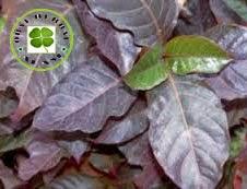 obat tradisional daun ungu, obat wasir, obat ambeien