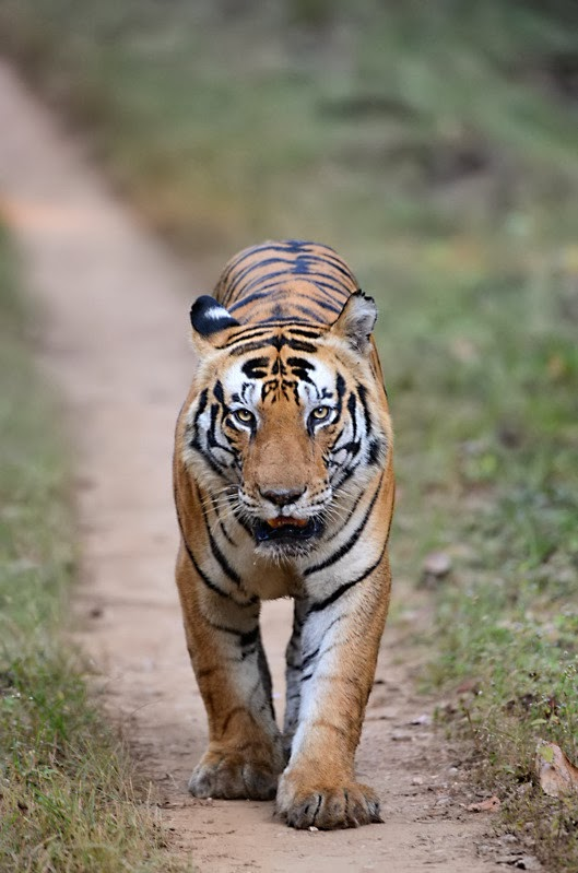 Munna Male Tiger in Kanha National Park
