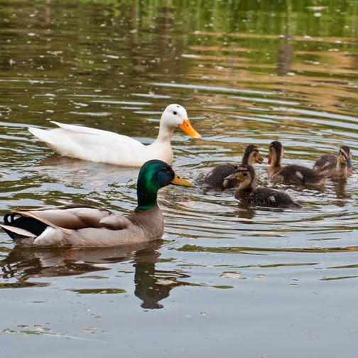 white mallard duck with male and ducklings
