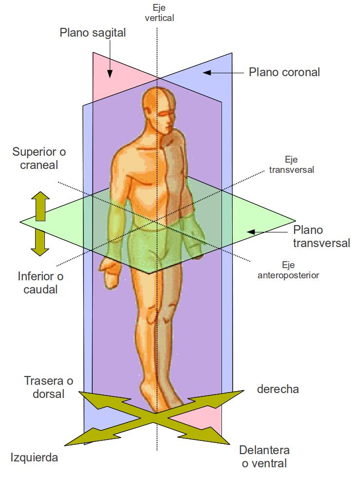 Morfologia: Planos Anatomicos
